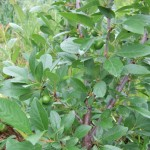 plums green
