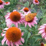 echinacea butterfly