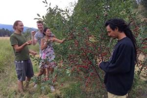evans cherries