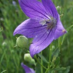 jie geng, balloon flower
