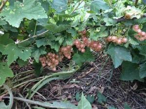 Gloire de Sablons pink currant bush