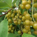 Yellow Chokecherry